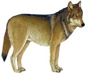 greywolf1