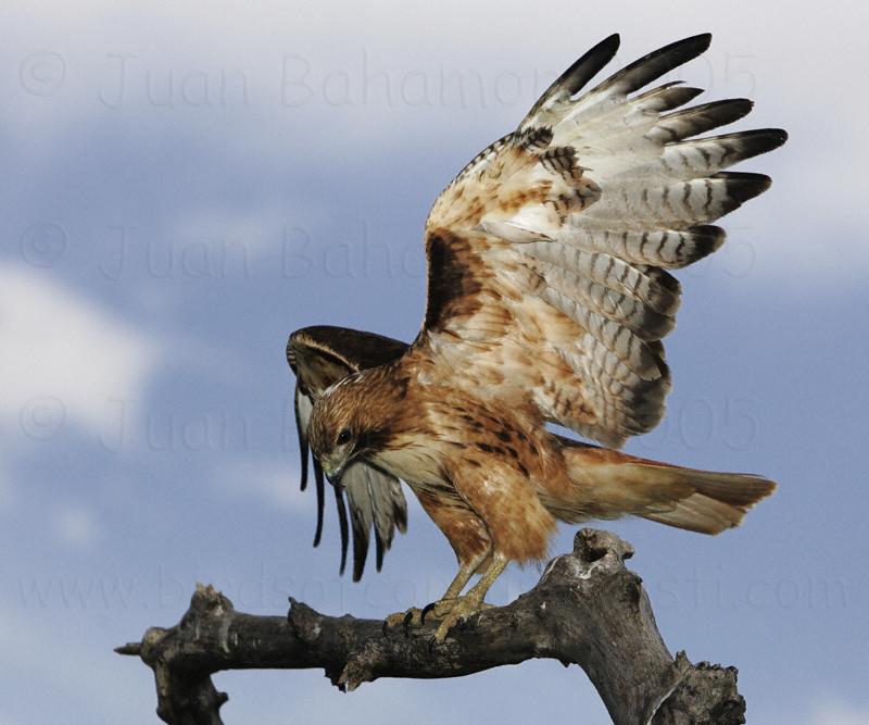 Hawk Medicine Pathwork