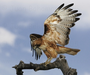 red_tailed_hawk_perched_sha
