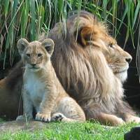 zoo-lions