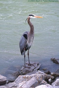great-blue-heron_chicka-dam