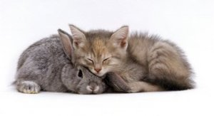1145704domestic-cat-silver-tortoiseshell-kitten-with-silver-dwarf-lop-eared-rabbit-2